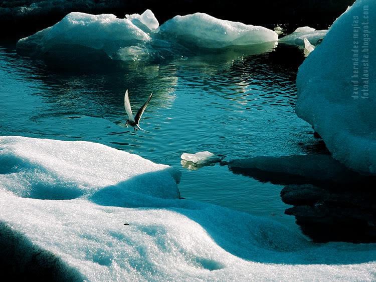 Pajarillo de los hielos
