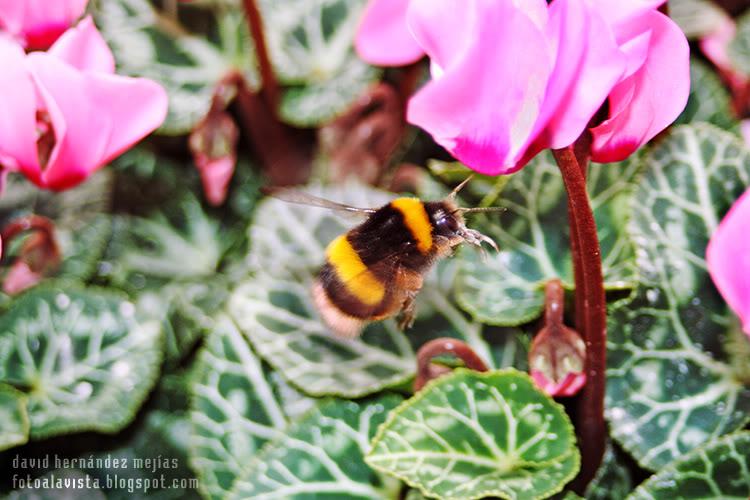 El gordo abejorro que volaba cual colibrí