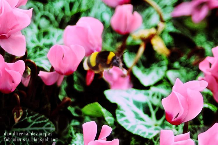 El típico gordo abejorro con cara de perro